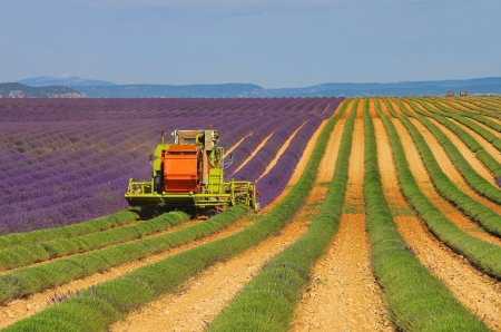 lavender field harvest 06 Stock Photo