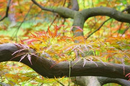 acer palmatum: Acer palmatum 03