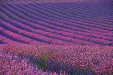 lavender field 04 photo
