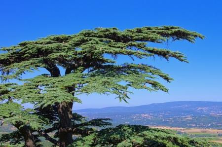 libani: cedar 17 Stock Photo