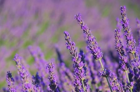 Lavendel Standard-Bild - 15095290