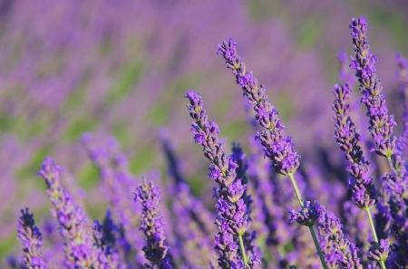 lavender Stok Fotoğraf