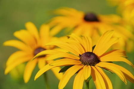 black-eyed Susan 12 photo