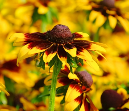 black-eyed Susan 15 photo