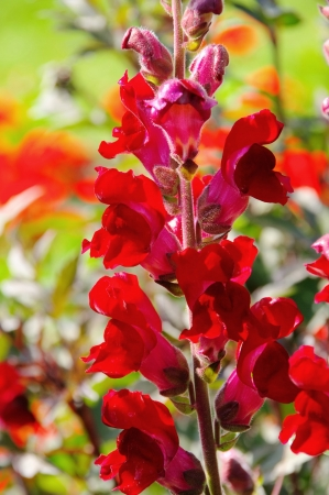 snapdragon: snapdragon red  Stock Photo