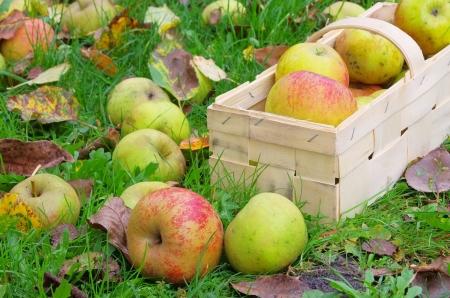 fallen fruit: windfall