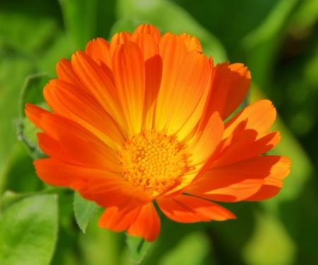 herbaceous border: calendula   Stock Photo