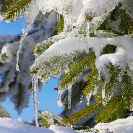 spruce twig in snow photo