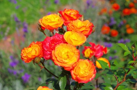 rambler: Rose Rumba Stock Photo
