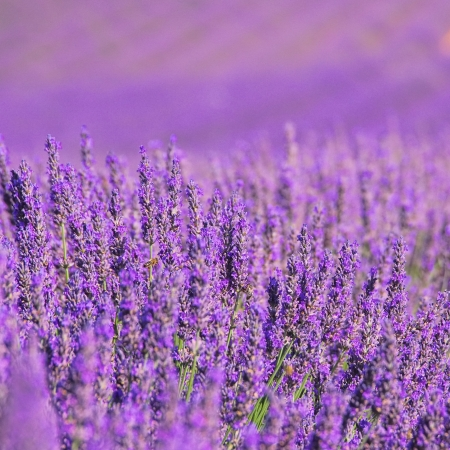 lavender field 14 photo