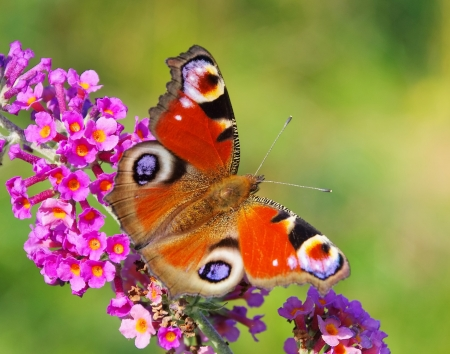 papillon: Summer Lilas européenne paon 03