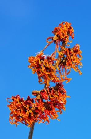 Hamamelis  Orange Beauty