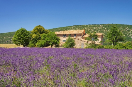 lavender field 09 Stok Fotoğraf