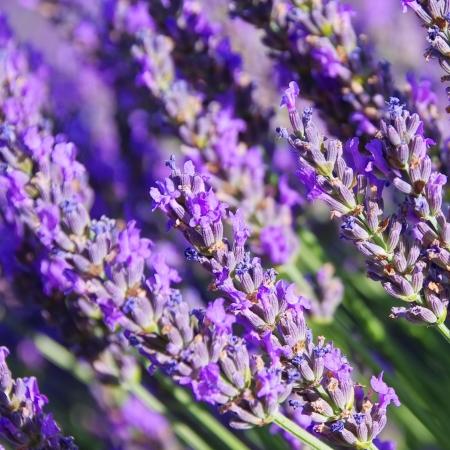 Lavendel Standard-Bild - 18058106