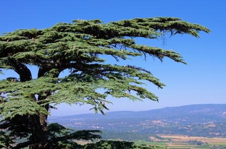 libani: cedar