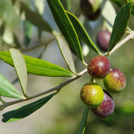 olive trees: Olives Stock Photo