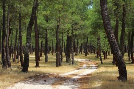 resin: bosque de pinos extracci�n de resina