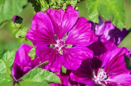 pflanze: Malve - malva 01