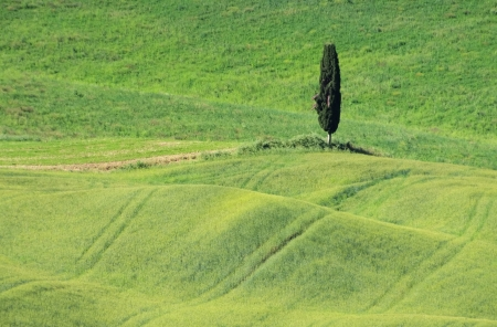 Tuscany field and cypress tree 01 photo