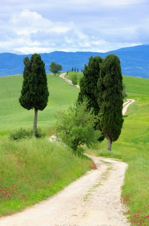 podere: Tuscany cypress trees with track 04