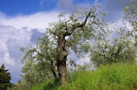 zweig: olive tree in Tuscany