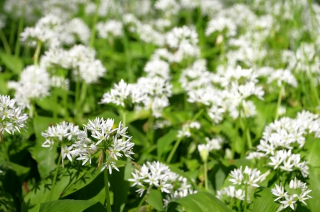 wild garlic  photo