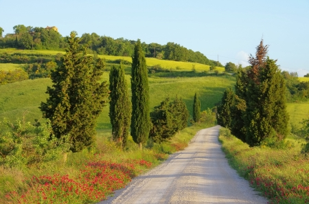 Tuscany cypress trees with track photo