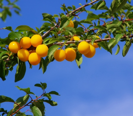 mirabelle plums at the tree  photo