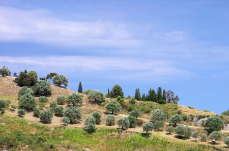 mediterranean forest: olive grove in Calabria