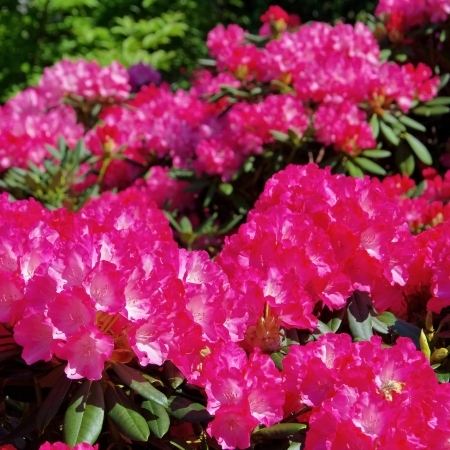 Rhododendron 24 Stock Photo - 22272991