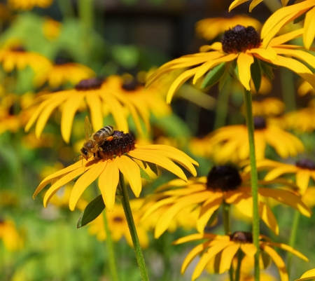 black-eyed Susan  photo