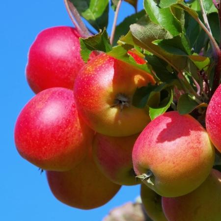 apple on tree  photo