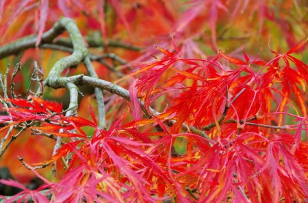 acer: Acer palmatum  Stock Photo