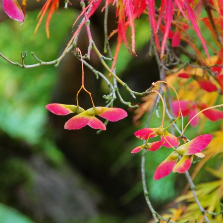 Acer palmatum Stock Photo - 23554875
