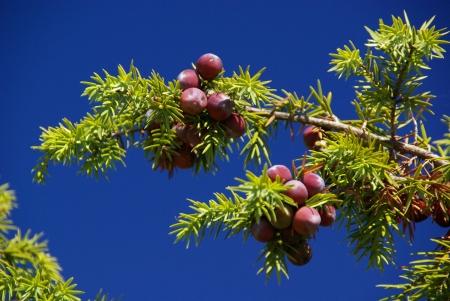 a juniper: enebro Foto de archivo