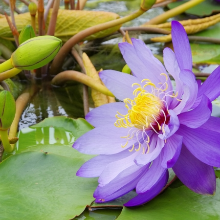 blte: Seerose - water lily 44