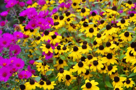 black-eyed Susan and aster photo