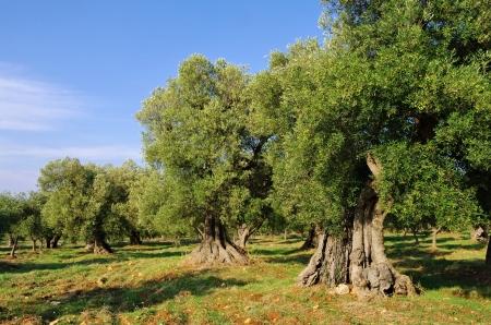 olijfgaard