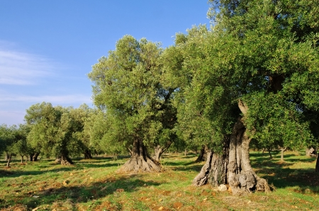 olive grove Фото со стока - 25132705