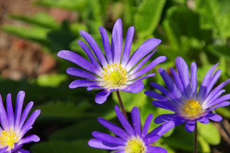 windflower: Grecian windflower
