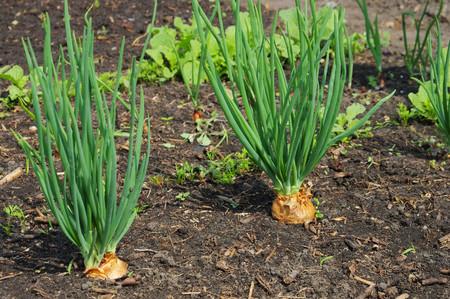 shallot: Shallot in garden