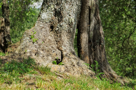 olive tree trunk  photo