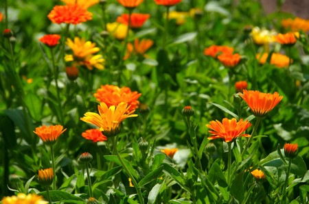 herbaceous border: calendula