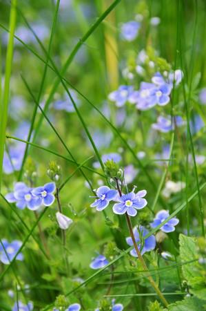 veronica flower: germander speedwell Stock Photo