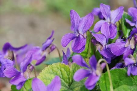 Viola odorata Stock Photo