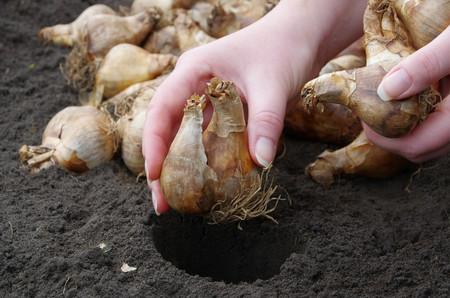 球根を植える 写真素材