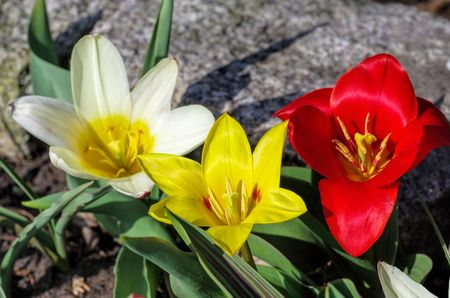 blte: wild tulip Tulipa kaufmanniana
