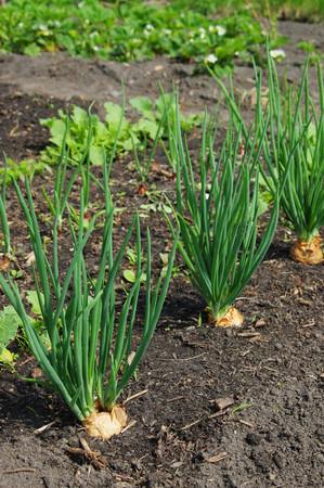 allium cepa: Shallot in garden