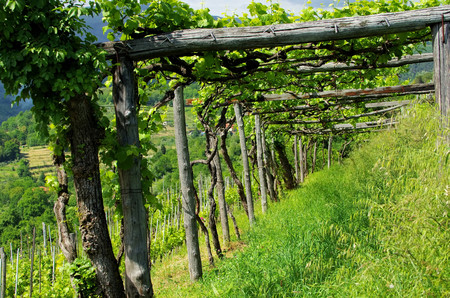 liguria: Liguria Vineyard