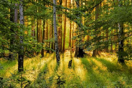 forest and sunrays Stock Photo
